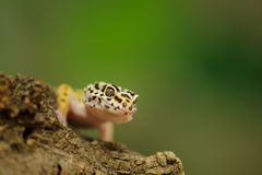 Common leopard gecko with green background Royalty Free Stock Photo