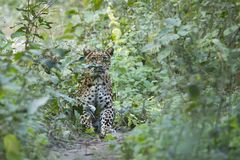 Common Leopard in Nepal Royalty Free Stock Images