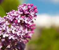 Common Lilac Royalty Free Stock Photography