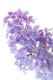Common lilac Royalty Free Stock Image