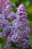 Common lilac. Full-blown common lilac , detail Stock Photos