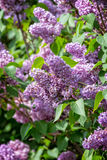Common lilac Royalty Free Stock Images