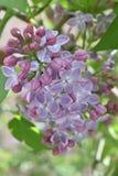 Common lilac, syringa, syringa vulgaris. Common lilac flower, syringa, syringa vulgaris, corolla of lilac, petals of lilac, petals of syringa royalty free stock photos