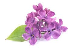 Common lilac Stock Image