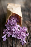 Common lilac Stock Photography