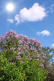 Common Lilac (Syringa vulgaris) Royalty Free Stock Photography