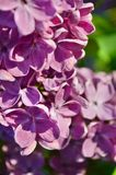 Common Lilac (Syringa Vulgaris). Blossoming bush of a lilac in the spring in a garden. Shallow depth of field Stock Image