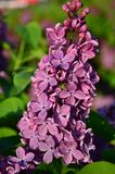 Common Lilac (Syringa Vulgaris). Blossoming bush of a lilac in the spring in a garden. Shallow depth of field Stock Photography