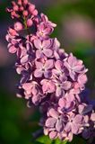 Common Lilac (Syringa Vulgaris). Blossoming bush of a lilac in the spring in a garden. Shallow depth of field Royalty Free Stock Photo