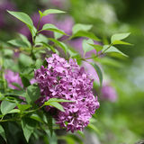 Common lilac, Syringa vulgaris Royalty Free Stock Photo