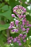 Common lilac, syringa, syringa vulgaris. Common lilac flower, syringa, syringa vulgaris, buds of lilac, buttons of lilac royalty free stock photography