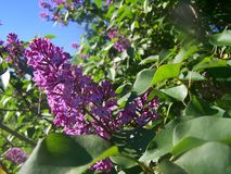 Lilac flowers on sunny day stock photography