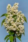 Common Lilac, Syringa vulgaris. Common Lilac Syringa vulgaris, flowers of springtime royalty free stock photos