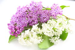 Common lilac Syringa vulgaris with violet and white flowers isolated on a white background. Common lilac Syringa vulgaris with violet and white flowers isolated Stock Images