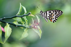 Common Lime Butterfly. In a Beautiful Garden Stock Photo