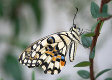 Common Lime Butterfly Royalty Free Stock Photography