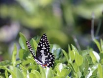 Common lime butterfly on citrus tree. Common lime butterfly on a citrus plant. One of the widespread varieties of butterflies. It`s quick flight provides a mode royalty free stock images