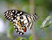 Common Lime Butterfly. A close-up view of Common Lime Butterfly Stock Photos