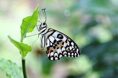 Common Lime Butterfly. Fresh look of Common Lime Butterfly in the garden Stock Photography
