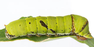 Common Lime butterfly larva Royalty Free Stock Image