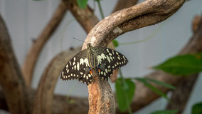 Common Lime Swallowtail butterfly Royalty Free Stock Images