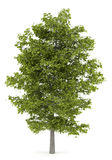 Common lime tree isolated on white Royalty Free Stock Photography