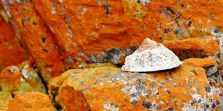 The common limpet Stock Photo