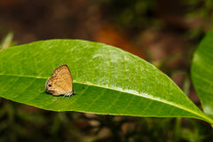 The common lineblue butterfly resting on green leaf Royalty Free Stock Images