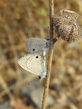 Common Lineblue vatat Butterfly Royalty Free Stock Image
