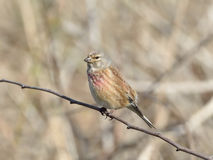 Common Linnet (Carduelis cannabina) Stock Photos