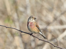Common Linnet (Carduelis cannabina) Stock Photography