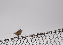 Common Linnet (Carduelis cannabina) Stock Images