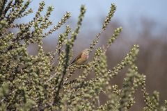 Common Linnet (Carduelis cannabina) Royalty Free Stock Photography