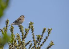 Common Linnet (Carduelis cannabina) Royalty Free Stock Photo