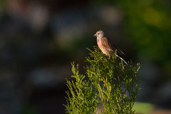 Common Linnet Stock Photos