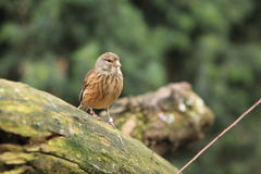 Common linnet Stock Photography