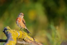 Common linnet warm shot in early morning royalty free stock photo