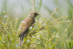 Common Linnet Royalty Free Stock Photography