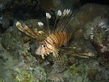 Common lion fish Stock Images