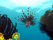 Common Lionfish. Swimming, Maratua, Indonesia Royalty Free Stock Image