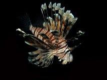 Common lionfish Stock Photos