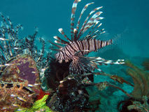 Common Lionfish. At Mabul, Borneo, Malaysia Stock Images