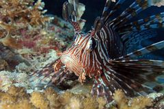 Common Lionfish Stock Image