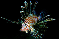 Common Lionfish. Wild, Common Lionfish on black background. The Philippines Stock Photo