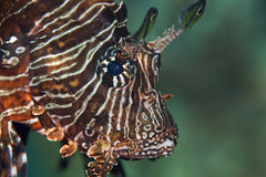 Common lionfish Royalty Free Stock Photography