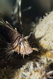 Common lionfish Royalty Free Stock Photos