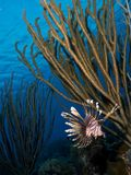 Right fish, wrong ocean, common lion fish in Bonaire Stock Photo