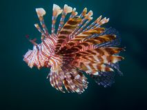 Common Lionfish. Beautiful common lionfish at one of my favourite macro sites in North Sulawesi, Paradise Jetty, near Pulisan Royalty Free Stock Image