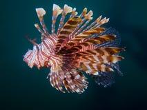 Common Lionfish Royalty Free Stock Image