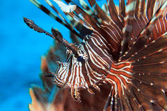 Common Lionfish Royalty Free Stock Images